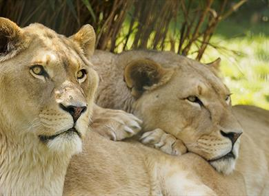 Two lions cuddling each other at Wildheart Animal Sanctuary, Sandown, Things to Do