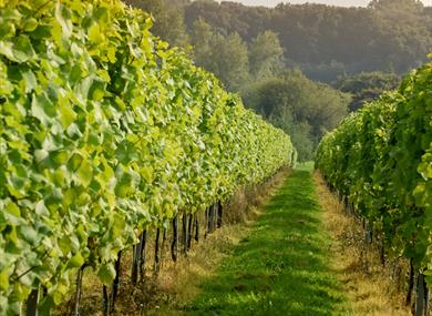Albourne Estate Vineyard