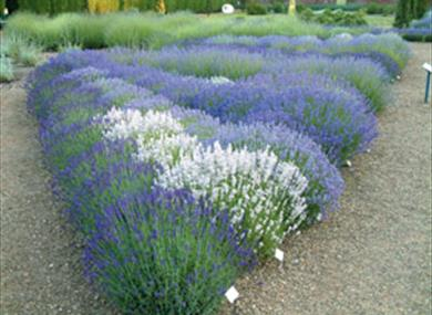 A profusion of lavender greets the visitor to Downderry Nursery.