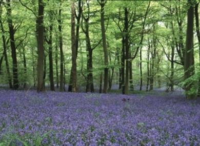 Bluebells at Foxholes near Bruern