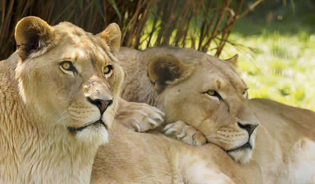 Two lions cuddling each other at Isle of Wight Zoo, Sandown, Things to Do